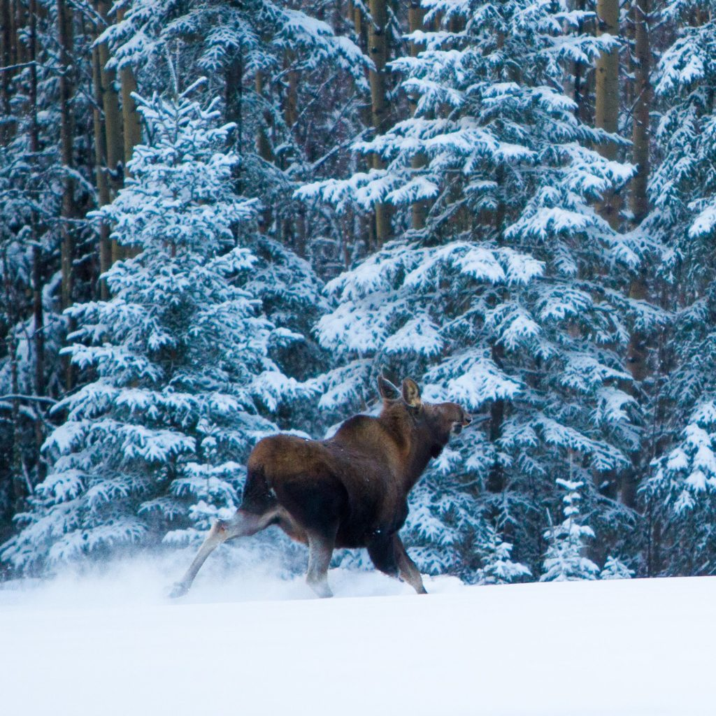 Moose in the nearby woods